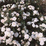 Роза Sea Foam фото