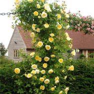 Роза The Pilgrim (плетистая) фото