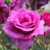 Роза Violette Parfume фото