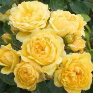 Роза Yellow Meilove фото