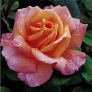 Роза Rosemary Harkness фото