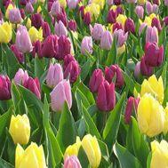 Тюльпаны Royal Princes Микс фото