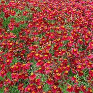 Кореопсис Ruby Red фото