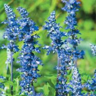 Сальвия Блубеддер, синяя фото