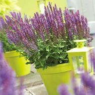Сальвия Sensation Compact Violet фото