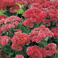 Седум Munstead Dark Red фото