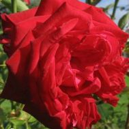 Роза Sophia Loren фото