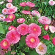 Маргаритка Бал Роз, розовая фото