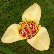 Тигридия Canariensis фото