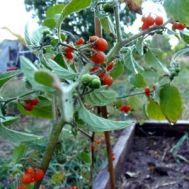 Томат Orange Berry фото