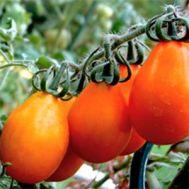 Томат Груша оранжевая фото