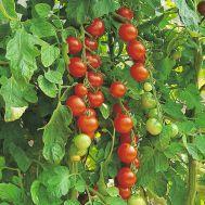 Томат Gardener's Delight фото