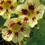 Настурция Orchid Cream фото