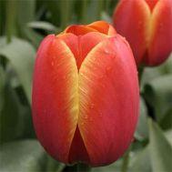 Тюльпан Ad Rem фото