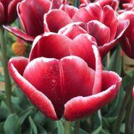 Тюльпан Armani фото