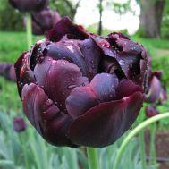 Тюльпан Black Hero фото