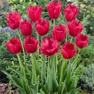 Тюльпан Burgundy Lace фото