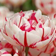Тюльпан Carnaval de Nice 50 фото