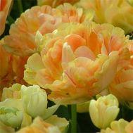 Тюльпан Сharming Beauty фото