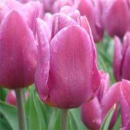 Тюльпан Copex фото