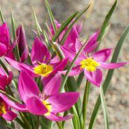 Тюльпан Eastern Star фото