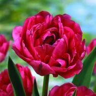 Тюльпан Emblazon 50 фото