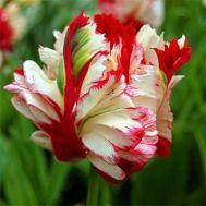 Тюльпан Estella Rijnveld 50 фото