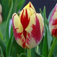 Тюльпан Grand Perfection фото