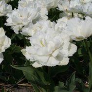 Тюльпан Grobina фото