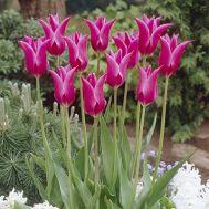 Тюльпан Lilac Time фото