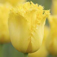Тюльпан Maja фото
