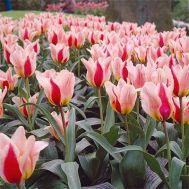 Тюльпан Mary Ann фото