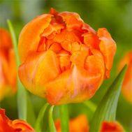 Тюльпан Monte Orange 50 фото