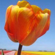 Тюльпан Mystic Garant фото