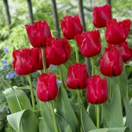 Тюльпан Red Wing фото