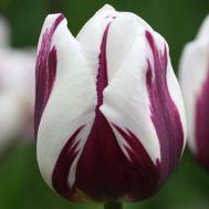 Тюльпан Rems Favourite фото