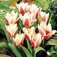 Тюльпан Rosy Dream фото