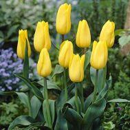 Тюльпан Strong Gold 50 фото
