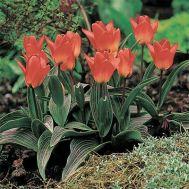 Тюльпан Sweet Lady фото