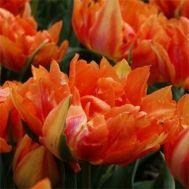 Тюльпан Willem Van Oranje фото