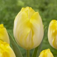 Тюльпан Bolroyal Silver фото