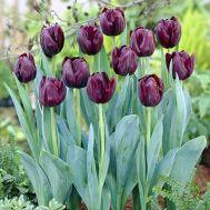 Тюльпан Black Jack фото