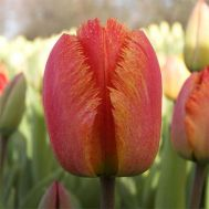 Тюльпан Fringed Solstice фото