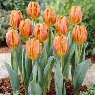 Тюльпан Hermitage фото