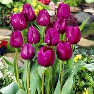 Тюльпан Negrita фото