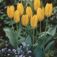 Тюльпан Yellow Empress фото