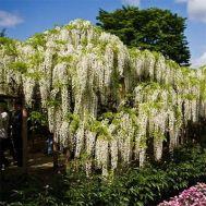 Вистерия (глициния) Longissima Alba фото
