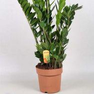 Замиокулькас Zamilifolia фото