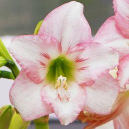 Амариллис Pink Rascal фото