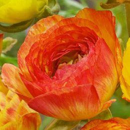 Ранункулюс (лютик) Picotee Orange фото